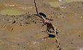 Green-winged Pytilia (Pytilia melba) male (6628942153).jpg
