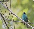 Green Honeycreeper, Parque Natural Metropolitano, Panama, April 9, 2016 (33071900311).jpg