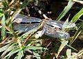 Green Hooktail . Female. Paragomphus genei - Flickr - gailhampshire (1).jpg