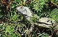 Green Iguana (Iguana iguana) - Flickr - berniedup (1).jpg