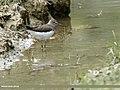 Green Sandpiper (Tringa ochropus) (33258437544).jpg