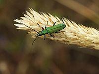 Green carabidae-1.jpg