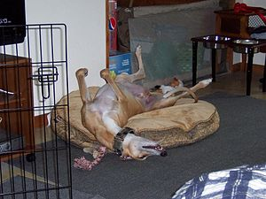 "Greyhound in the ""roach"" sleeping po..."