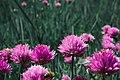 Griesheimer Düne 5 Kleeblüten.jpg
