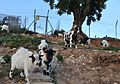 Grup de cabres al costat del riu Gorgos, Xàbia.JPG