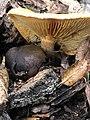 Gymnopilus sapineus 60739304.jpg