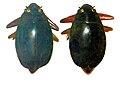 Gyrinidae - Dineutus loriae.jpg