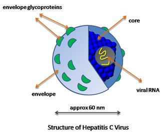 Hepatitis C virus - Simplified diagram of the structure of the Hepatitis C virus particle