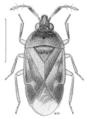 HEMI Anthocoridae Cardiastethus poweri.png