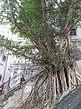 HK 半山區 Mid-levels 堅道 Caine Road green leaves February 2020 SS2 06.jpg