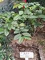 HK SW 上環 Sheung Wan 香馨里 Heung Hing Lane garden 百草園 plant flora February 2020 SS2 08.jpg