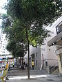 HK Sai Ying Pun 水街 Water Street trees 2010.jpg