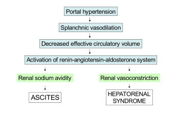 Diagram: portal hypertension leads to splanchnic vasoconstriction, which decreases effective cirulatory volume. This activates the renin–angiotensin–aldosterone system, which leads to ascites due to renal sodium avidity and hepatorenal syndrome due to renal vasoconstriction.