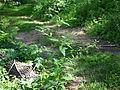 Hackelia virginiana 003-4x3.jpg