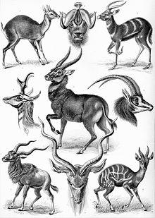 Estampa com várias espécies de antílope. (In: Kunstformen der Natur)