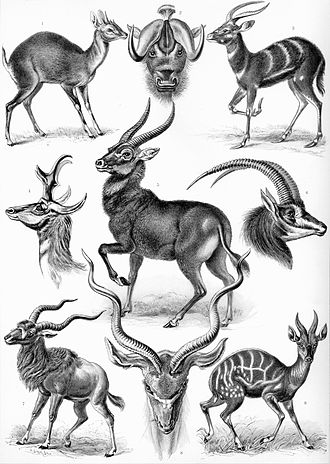 Kunstformen der Natur - Image: Haeckel Antilopina