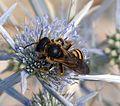 Halictus scabiosae. Female - Flickr - gailhampshire.jpg