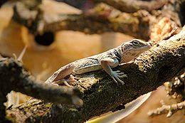 Dykumos gyvunai vikipedija
