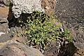 Haría Ye - Calle San Francisco Javier-LZ-201 - Euphorbia segetalis 02 ies.jpg