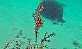 Harlequin Ghost Pipefish (Solenostomus paradoxus) (6085291969).jpg