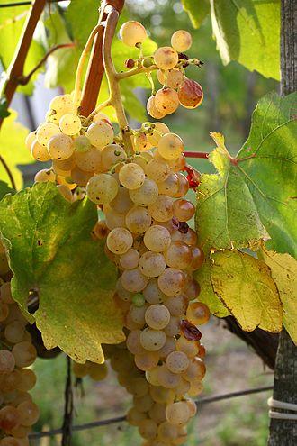Hárslevelű - Hárslevelű grapes