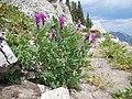 Hedysarum occidentale (29096390422).jpg