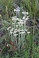 Helichrisum sp. (Asteraceae) (6932178345).jpg