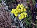 Helichrysumm arenarium.jpg