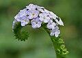Heliotropium indicum W IMG 9954.jpg