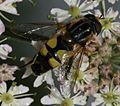 Helophilus trivittatus - Large Tiger Hoverfly - Flickr - S. Rae (8).jpg