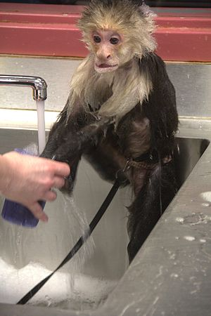 Service animal - Helping Hands - Monkey Helpers Service monkey washing itself