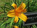 Hemerocallis major1.jpg