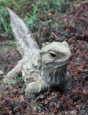 Environment of New Zealand - A tuatara, an endangered reptile found only in New Zealand. Eighty percent of New Zealand's biota is endemic.