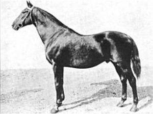 United States Army Remount Service - Henry of Navarre, a Thoroughbred race horse after retirement to stud with the Army Remount Service, 1917