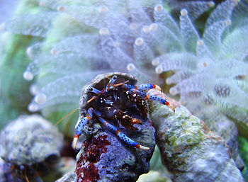 A blue-legged hermit crab cleaning shells in a...