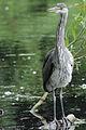 Heron Bushy Park 03.JPG