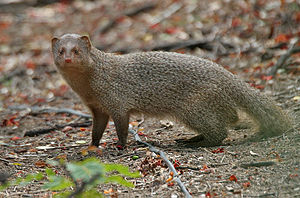 Indian grey mongoose - Adult in the wild (Hyderabad, India)