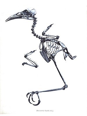 Huia - Skeleton showing long legs suitable for hopping