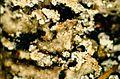Heterodermia obscurata-2.jpg