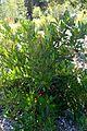 Heteromeles arbutifolia kz4.jpg
