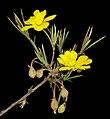 Hibbertia acerosa - Flickr - Kevin Thiele.jpg