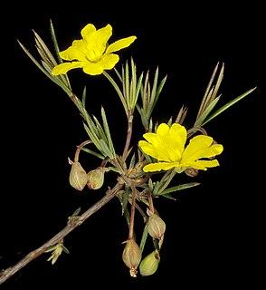 <i>Hibbertia acerosa</i> species of plant