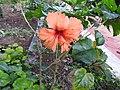 Hibiscus rosa sinensis hybrid-29-hanuman temple-muluvi-yercaud-salem-India.jpg