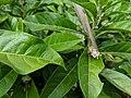 Hibiscus tozerensis IMG 20190502 121712.jpg
