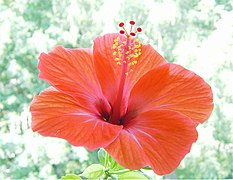 Hibiscus rosa sinensis wikivisually bunga raya chinese hibiscus ccuart Image collections