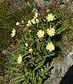 Hieracium intybaceum 300808.jpg