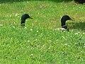 Highcliffe, two ducks' heads - geograph.org.uk - 824210.jpg