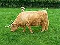Highland cow, Roves Farm, Sevenhampton - geograph.org.uk - 828224.jpg