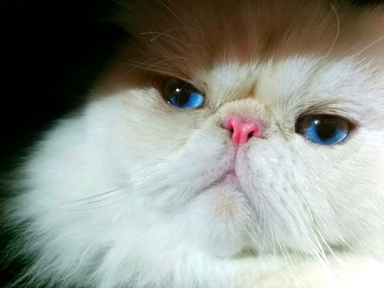 Himalayan cat - The complete information and online sale
