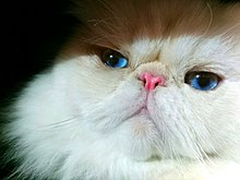 Persian Cat Wikivisually